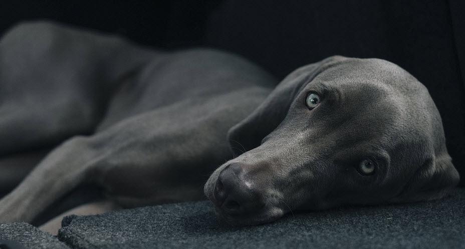 Reiki on Pets dogs